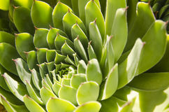 Sempervivum. The home keeper plant Royalty Free Stock Images