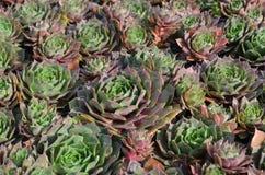 Sempervivum, houseleek, pianta di giardino di rocce immagine stock libera da diritti