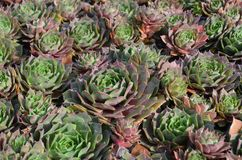 Sempervivum, houseleek, rockowa ogrodowa roślina obraz royalty free