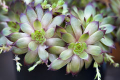 Sempervivum houseleeks Stock Image