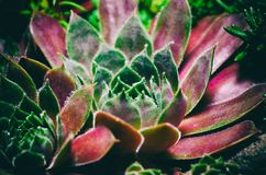 Sempervivum houseleeks is a genus of about 40 species of flowering plants in the Crassulaceae family.  stock photo