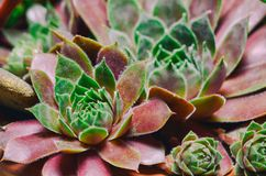 Sempervivum houseleeks is a genus of about 40 species of flowering plants in the Crassulaceae family.  stock photos