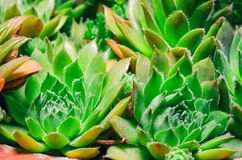 Sempervivum houseleeks is a genus of about 40 species of flowering plants in the Crassulaceae family.  royalty free stock image