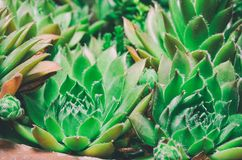 Sempervivum houseleeks is a genus of about 40 species of flowering plants in the Crassulaceae family.  stock photography