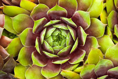 Sempervivum houseleeks macro close up Stock Image