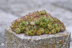 Sempervivum i en kruka Arkivfoto