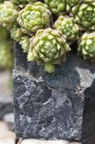 Sempervivum montanum Stockbilder