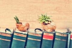 Sempervivum na ślimaczek skorupach Obrazy Royalty Free