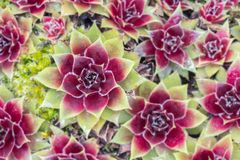 Sempervivum natural pattern Royalty Free Stock Image