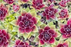Sempervivum natuurlijk patroon Royalty-vrije Stock Afbeelding