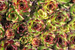 Sempervivum plant Stock Images
