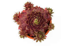 Sempervivum plant and offshoots Royalty Free Stock Photo