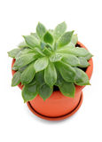 Sempervivum plant in a pot Stock Image