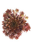 Sempervivum plant seen from above Stock Photography