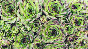 Sempervivum plant of vivid green color Royalty Free Stock Image