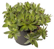 Sempervivum in a pot  Royalty Free Stock Images