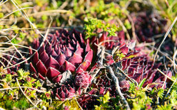 Sempervivum Royalty Free Stock Photo