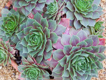 Sempervivum rośliny Obrazy Stock