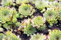 Sempervivum rośliny ziele Obraz Stock