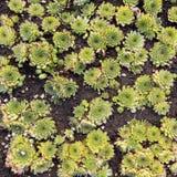 Sempervivum rośliny ziele Fotografia Stock