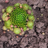 Sempervivum soboliferum. Succulent. green on ground, natural background Stock Photos