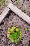 Sempervivum soboliferum. Succulent. green on ground, natural background Stock Image