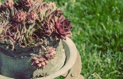 Sempervivum som är suculent i gård för gammalt land royaltyfri bild