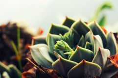 Sempervivum, stone rose close up Stock Photography