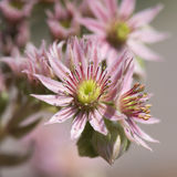 Sempervivum - succulent Royalty Free Stock Images