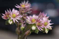 Sempervivum - succulent Royalty Free Stock Image