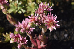 Sempervivum - succulent Stock Images