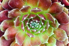 Sempervivum succulent plant close up royalty free stock photography
