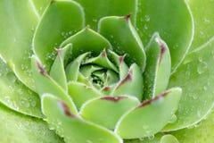 Sempervivum Succulent Plants 3 Royalty Free Stock Photo
