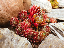 Sempervivum. Suculent garden. Urban gardening. Fauna royalty free stock images