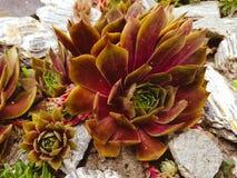 Sempervivum. Suculent garden. Urban gardening. Fauna royalty free stock image