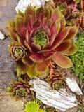 Sempervivum. Suculent garden. Urban gardening. Fauna stock images