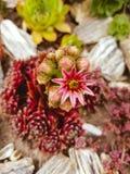 Sempervivum. Suculent garden. Urban gardening. Fauna stock image