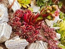 Sempervivum. Suculent garden. Urban gardening. Fauna royalty free stock photography