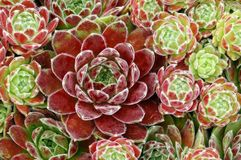 Sempervivum ?Sunkist? Stockfoto