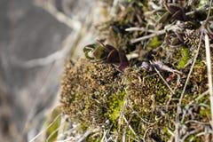 Sempervivum sur des roches au printemps, peut dedans, la fleur en pierre images stock