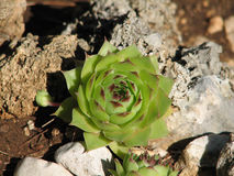 Sempervivum tectorum Stock Photo