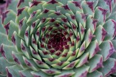Sempervivum tectorum Royalty Free Stock Image