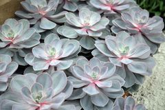 Sempervivum tectorum Royalty Free Stock Image