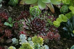 Sempervivum tectorum Stock Photos