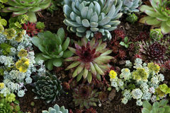 Sempervivum tectorum Royalty Free Stock Images
