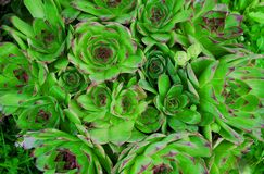 Sempervivum tectorum Royalty Free Stock Photo
