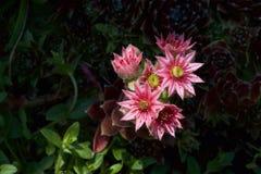 Sempervivum-tectorum in der Blüte im Sonnenlicht Stockbilder