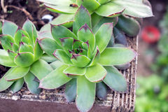 Sempervivum tectorum in garden outside Royalty Free Stock Photos