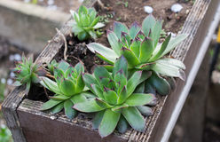 Sempervivum tectorum in garden outside Royalty Free Stock Photography