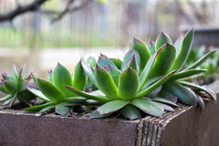 Sempervivum tectorum in garden outside Stock Image